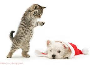 Playful tabby kitten pouncing on a west highland white terrier puppy