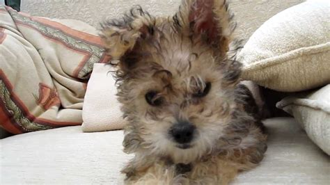 yorkie mixed with bichon bichon yorkie cross puppy
