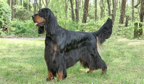 gordon setter gun dog most popular pointer dogs breeds disk trend magazine