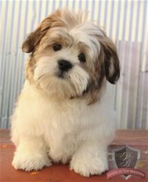 puppyspot havanese 1000 images about canine on havanese puppies shih poo and puppys