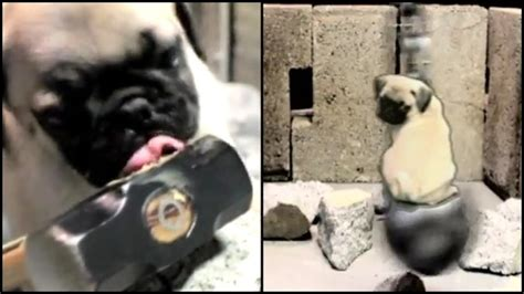 wrecking pug bruce wayne the pug pays tribute to miley cyrus rtm rightthisminute
