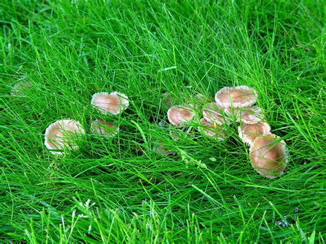 edible backyard mushrooms stop the bagging mushrooms in the lawn and non blooming