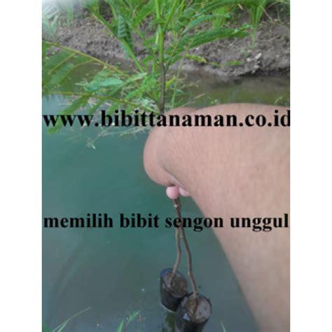Bibit Sengon Harga jual bibit tanaman unggul murah di purworejo