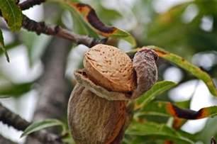 almond fruit tree almond trees lovetoknow