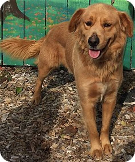 missouri golden retriever rescue pacific mo golden retriever mix meet buster a for adoption