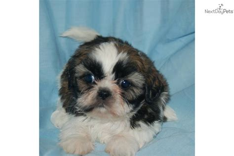 akc shih tzu akc registered shih tzu puppies breeds picture