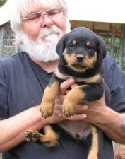 rottweiler puppies ireland dogs for sale puppies for sale ireland ads ireland dogs for sale puppies for sale