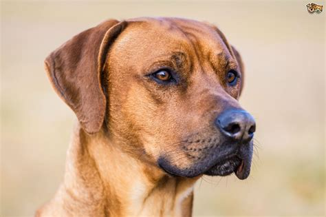 a of dogs the genetics of the rhodesian ridgeback s ridge pets4homes
