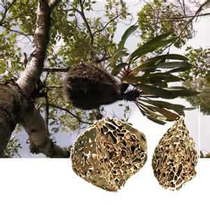 Sarang Semut Papua 100 Asli toko sarang semut papua asli maxgiver dbastro okm33 3s
