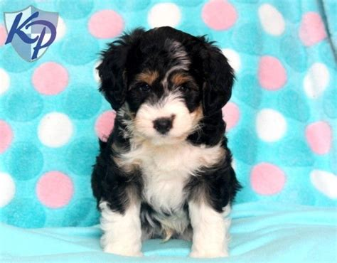 miniature aussiedoodle puppies for sale lenny aussiedoodle mini puppy www keystonepuppies keystonepuppies