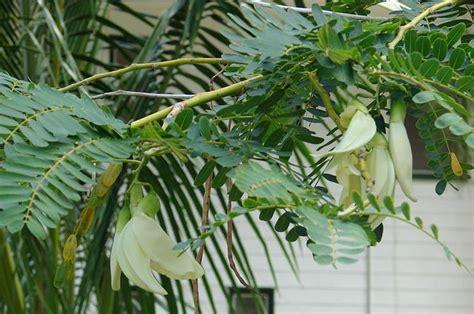 kembang turi bunga  bisa dimakan  halaman