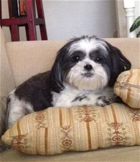 black and white shih tzu shih tzu black and white www pixshark images galleries with a bite