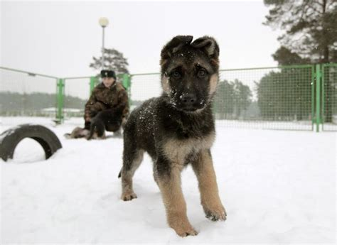 toughest breeds national day adorable photos of the top 10 breeds in america