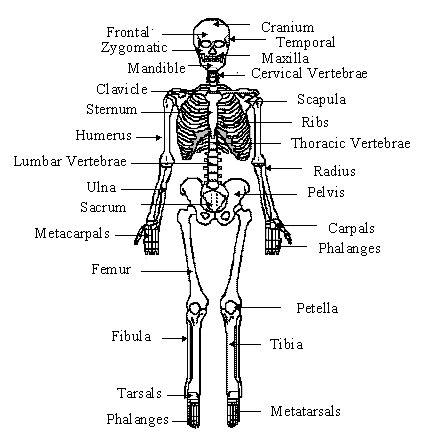 human bone diagram the human bones muscles