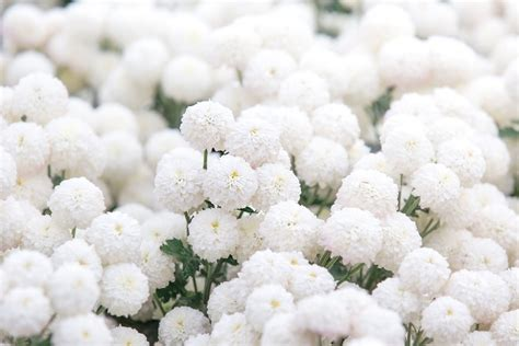 crisantemi fiori crisantemi i fiori mese di ottobre carollo fiori