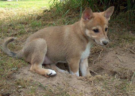 canaan puppies kennel chanco urhundskenneln canaan kanaan hund