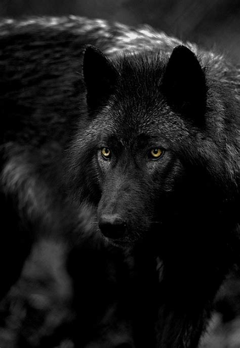 View topic - Becoming one - wolf RP - OPEN - Chicken Smoothie Growling Black Wolf With Yellow Eyes