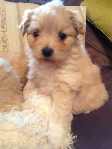 mixed pomeranian puppies cavachon cross pomeranian puppies cheltenham gloucestershire pets4homes