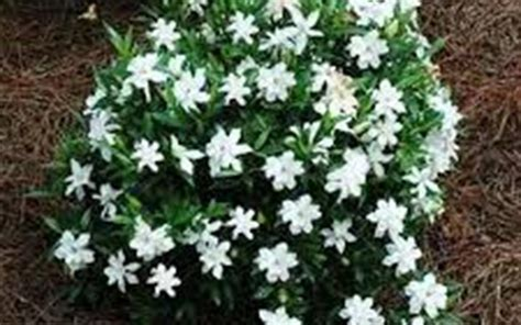 high c gardenias creeping dwarf gardenia 3 gallon shrub groundcover