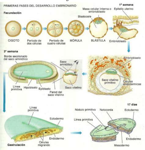 inductor principal en la induccion neural primaria el mundo cerebro embriologia sistema nervioso