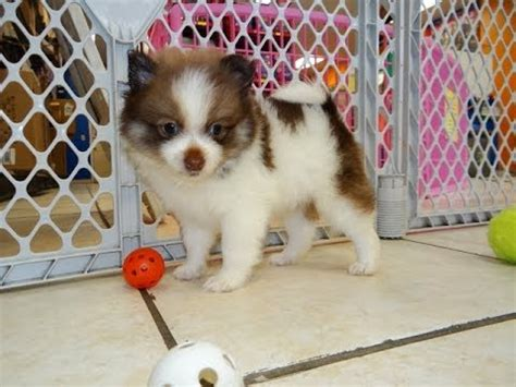 teacup pomeranian puppies craigslist puppies for free adoption 2014 www pixshark images galleries with a bite