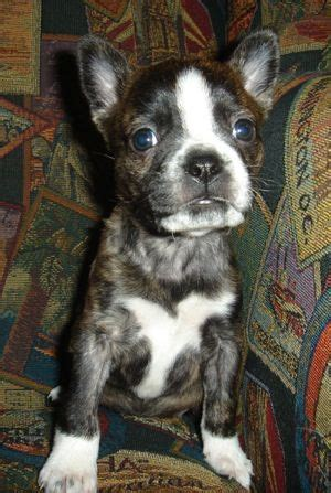 boston terrier pitbull mix puppies pitbull boston terrier mix dogs