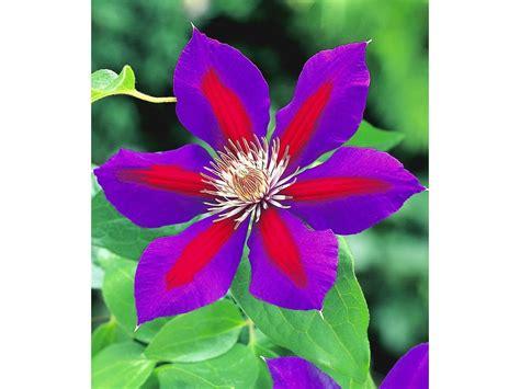 clematis wann pflanzen waldrebe clematis etoile de malicorne 1 pflanze lidl