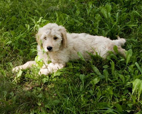 goldendoodle puppy rescue ny goldendoodles buffalo and western new york puppies