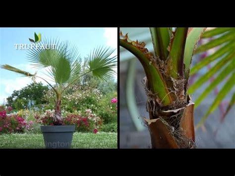 comment tailler  palmier jardinerie truffaut tv