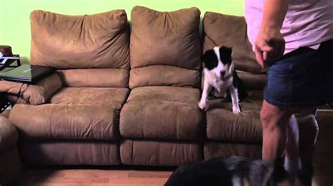 how to stop dog jumping on sofa how can i stop puppy jumping on sofa mjob blog