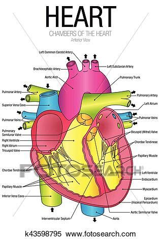 chart  heart anterior view  parts  vector