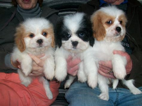 shih tzu cross king charles cavalier cavalier king charles spaniel puppies for sale from autos post