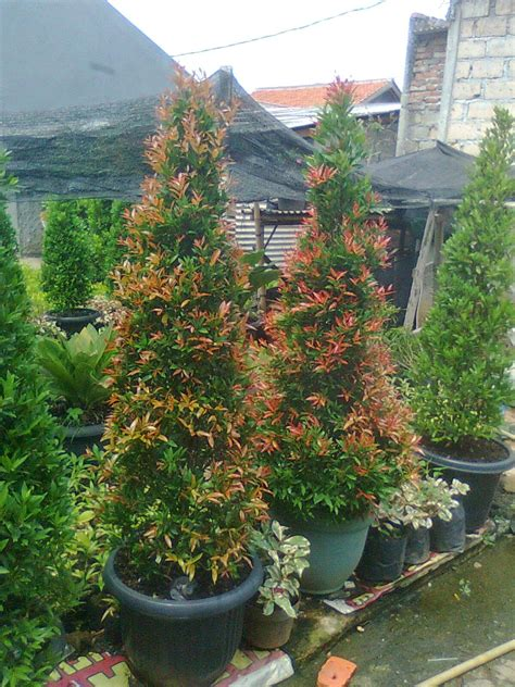 tanaman hias  pohon pelindung pohon pucuk merah ide