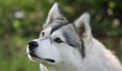 husky type dogs siberian husky breed information