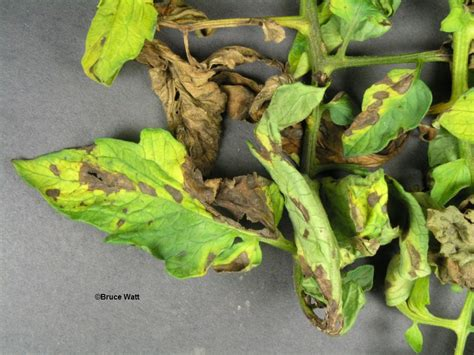 house plant disease identification tomato early blight signs symptoms umaine
