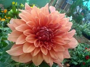 file dahlia flower 8 jpg wikimedia commons