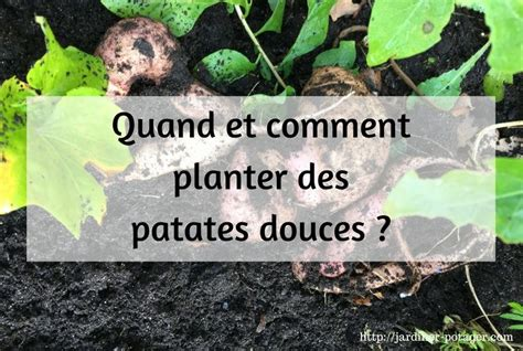 Quand Planter Les Patates Douces by Comment Planter Des Patates Douces Conseils Pour R 233 Ussir
