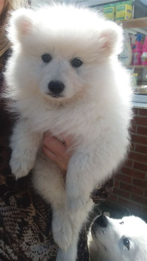 spitz puppies for sale beautiful japanese spitz puppies for sale wisbech cambridgeshire pets4homes