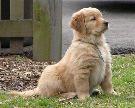 vicious golden retriever so proud and confident golden retriever puppies foo boys