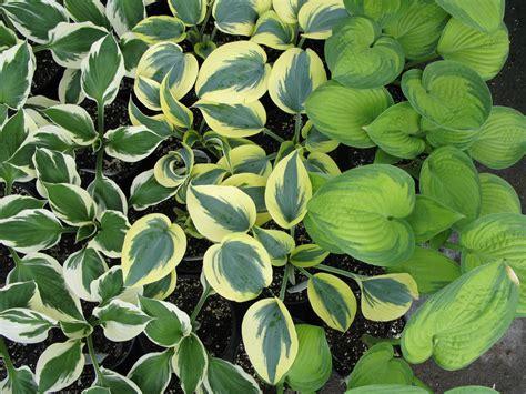 perennial foliage plants perennials plants johnson s garden centers