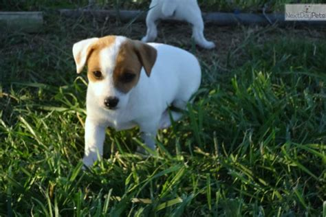 puppies for sale in tn terrier puppies for sale in tn myideasbedroom