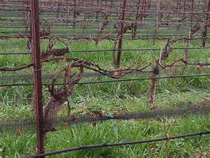 home garden how to prune grape vines