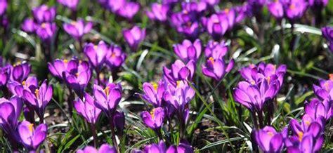 fiori canelle viola lo zafferano abruzzese mangiare e bere idee di viaggio