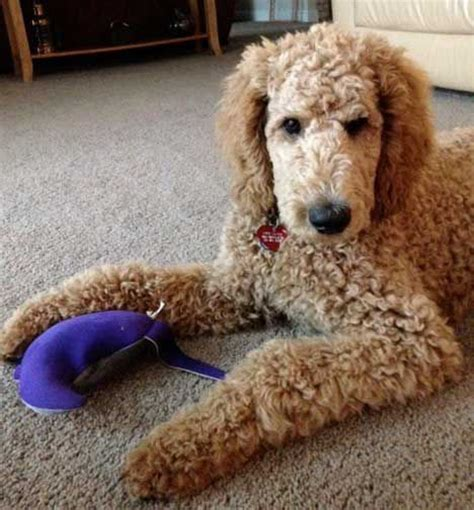 lifespan of standard poodle poodles smart active and proud standard poodles