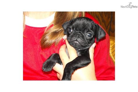 black pugs for sale in missouri pug for sale for 450 near southeast missouri missouri 67f85c0e a711