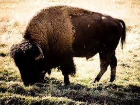 buffalo dies at golden gate park after chased by small