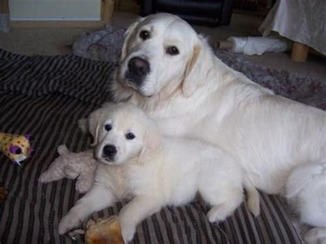 golden retriever puppies for sale wisconsin golden retriever puppies white for sale adoption from hayward wisconsin adpost