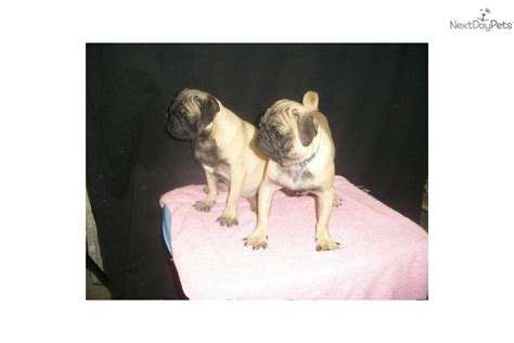 pug for sale in nj meet m f available a pug puppy for sale for 550 pug nj ny ct md de ma