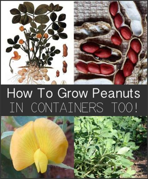 How To Grow Peanuts An Easy Guide For Gardening Beginners   3773 mejores im 225 genes de agricultura urbana en pinterest