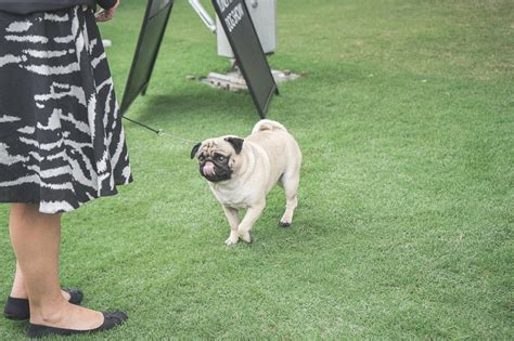 pug adoption sydney sydney rotal dog show the pug diary 03042015 0074 the pug diary